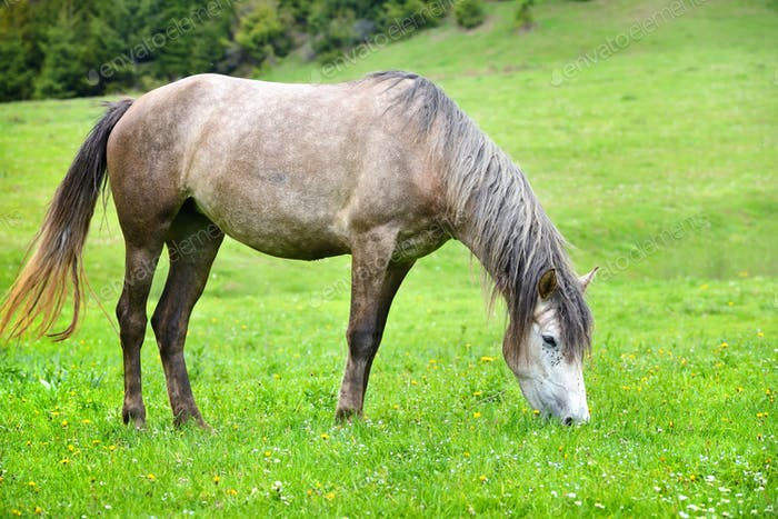 Grey horse grazing in summer pasture