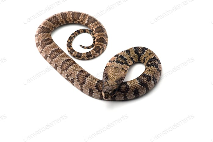 False water cobra isolated on white background