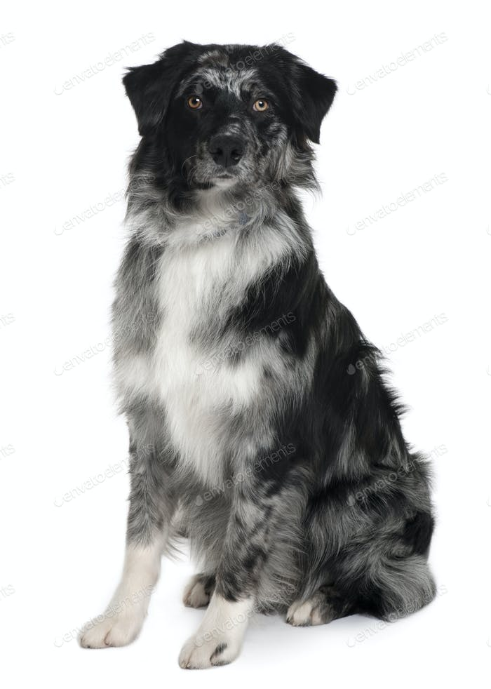 Australian Shepherd dog, 10 Months old, sitting in front of white background