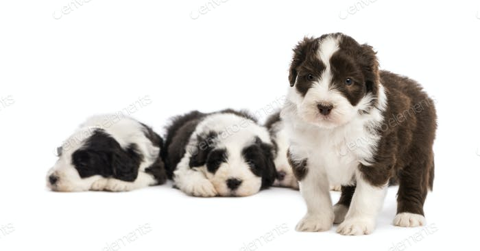 Bearded Collie puppy, 6 week