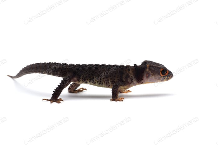 The crocodile skink isolated on white background