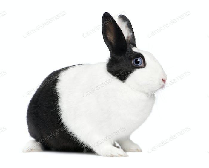Rabbit (11 months)