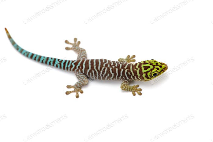 Standings day gecko  isolated on white background