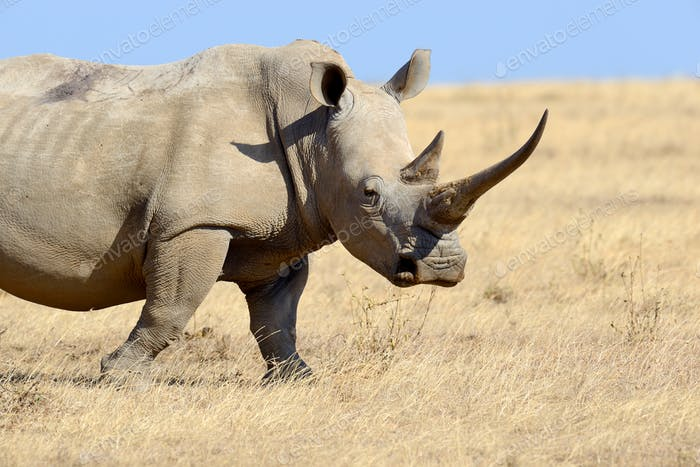 Rhino on savannah in Africa