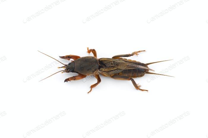 the European mole cricket macro photo isolated on white background