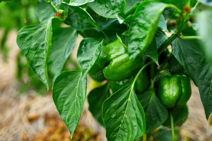 Green peppers growing in the garden outdoor, agriculture