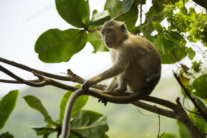 Crab-eating macaque Macaca fascicularis also known as long-taile