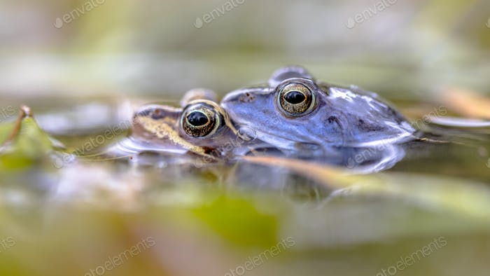 Moor frog couple submersed in water