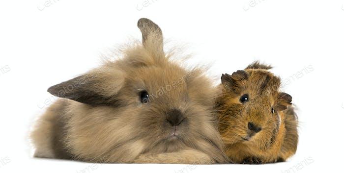 Angora rabbit and Guinea pig, isolated on white