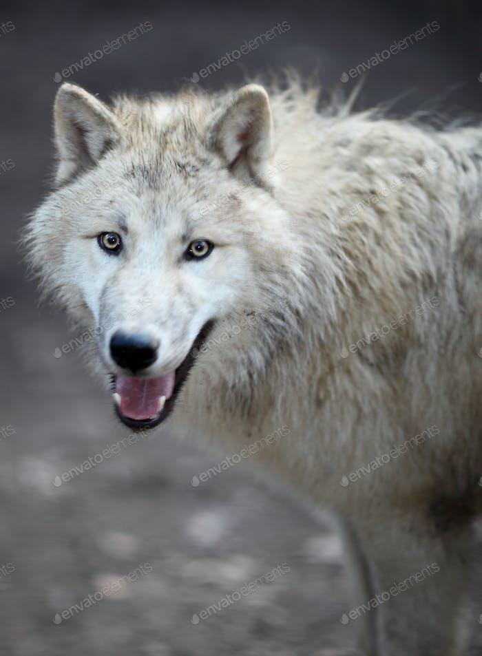 Arctic Wolf (Canis lupus arctos) aka Polar Wolf or White Wolf -