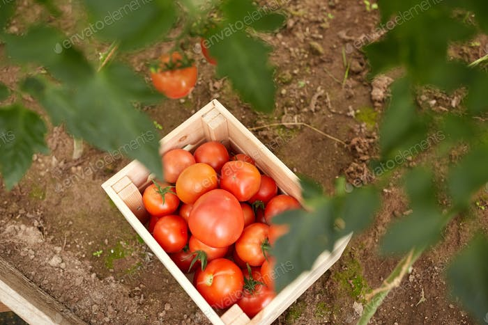 red tomato's in wooden box at summer garden