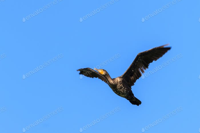 cormorant (phalacrocorax carbo ) in flight
