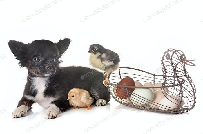 puppy chihuahua and chick