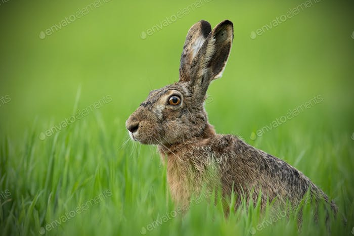 Portrait of brown hare with clear blurred green background