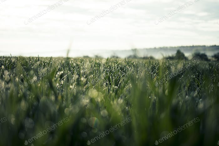 Beautiful Rich Green Grass in Morning Light with Water Drops and Bokeh