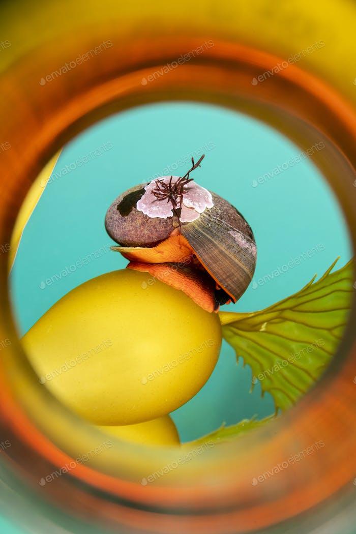 Norris Top Snail on Kelp