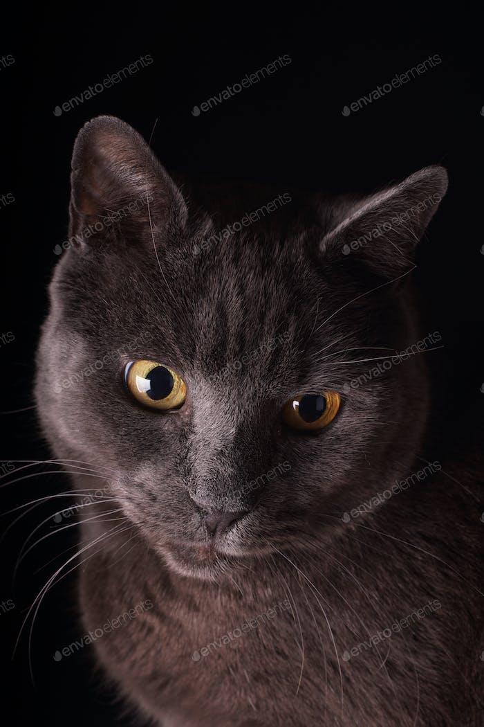 British Short Hair Cat Portrait