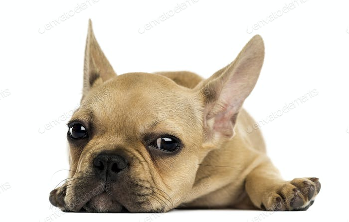 French Bulldog puppy lying down, looking at the camera, isolated on white