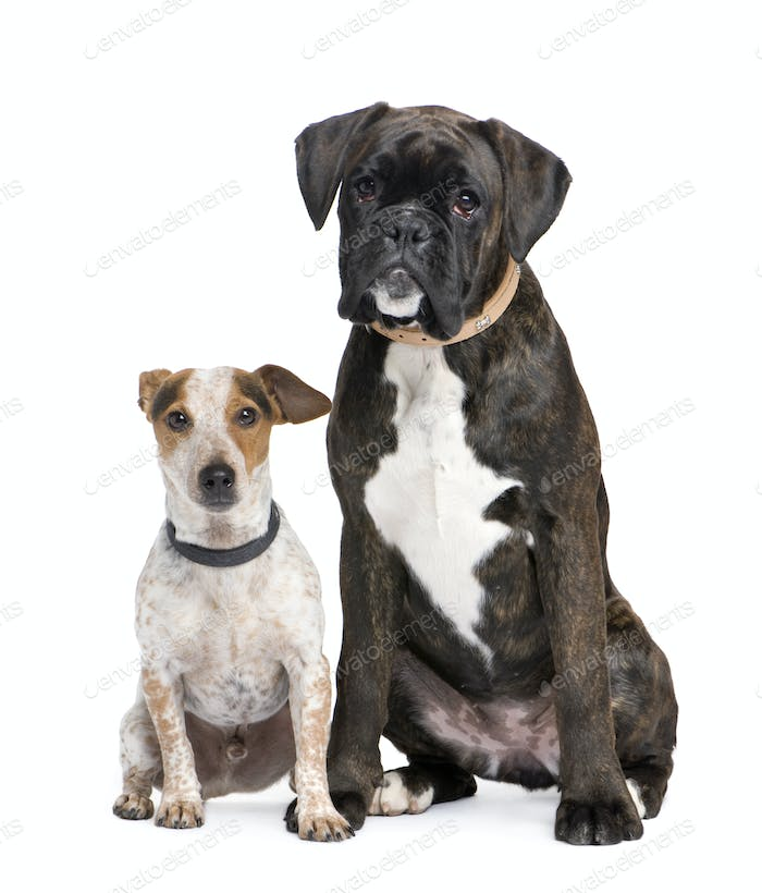 Couple Of A Boxer And Crossbreed Dog