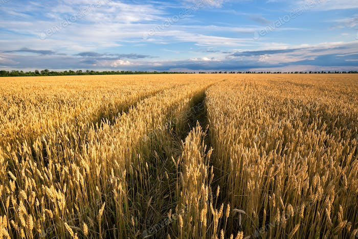 Road to the field with yellow ears of wheat