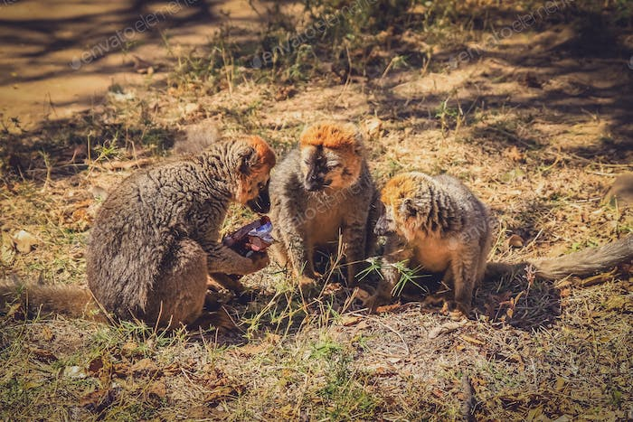 Three brown lemurs