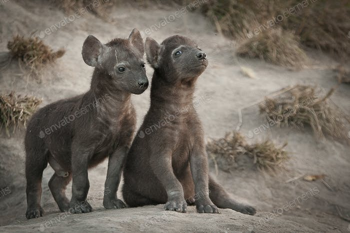 Two spotted hyena cubs, Crocuta crocuta, sit and stand outside their den, looking away