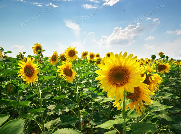 Meadow of sunflowers