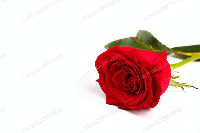 Single Red fresh rose isolated on white background. Traditional holiday gift