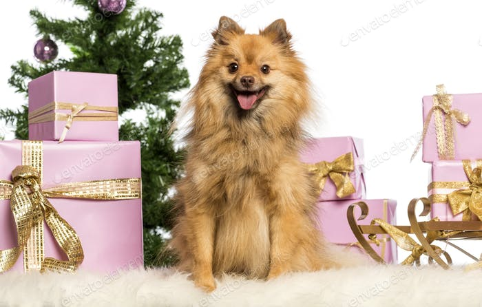 Pomeranian sitting in front of Christmas decorations against white background
