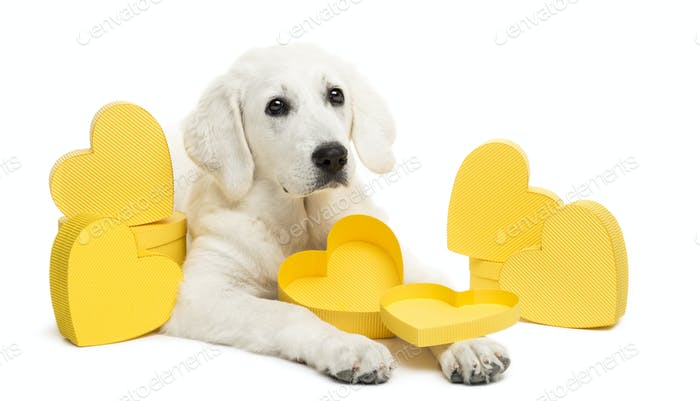 Polish Tatra Sheepdog lying between yellow hearts, gift, present