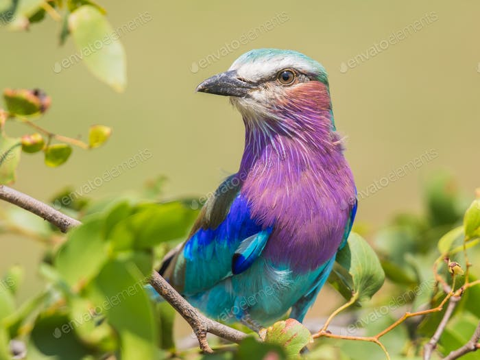 Lilac breasted roller in mopani tree