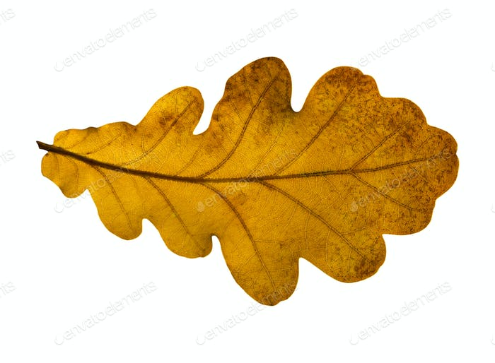Oak Closeup Leaf Isolated On White Background.