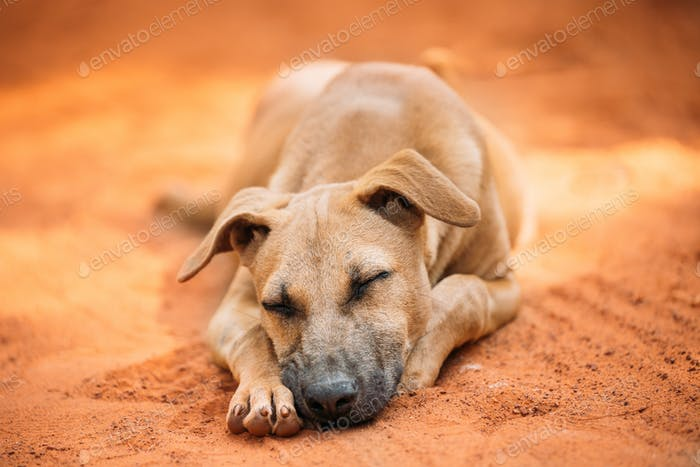 Homeless Red Mixed Breed Dog Resting Sleeping Outdoor On Orange Sand