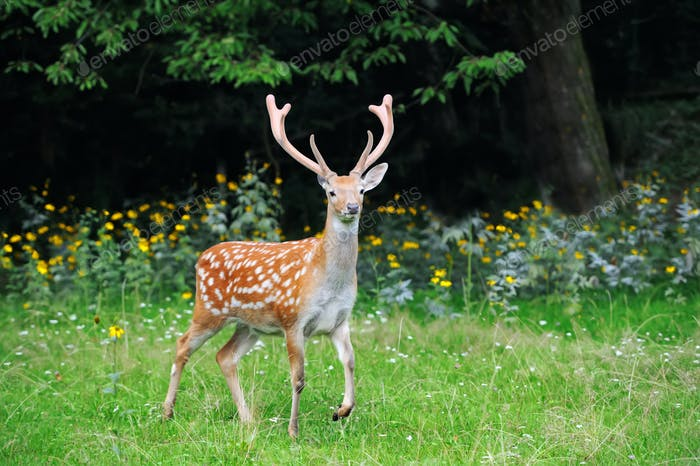 Whitetail Deer standing in summer wood