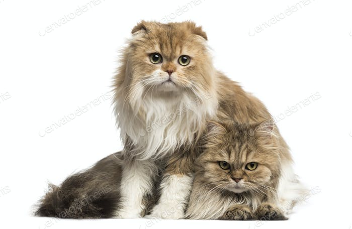 Highland Fold sitting above British Longhair, isolated on white