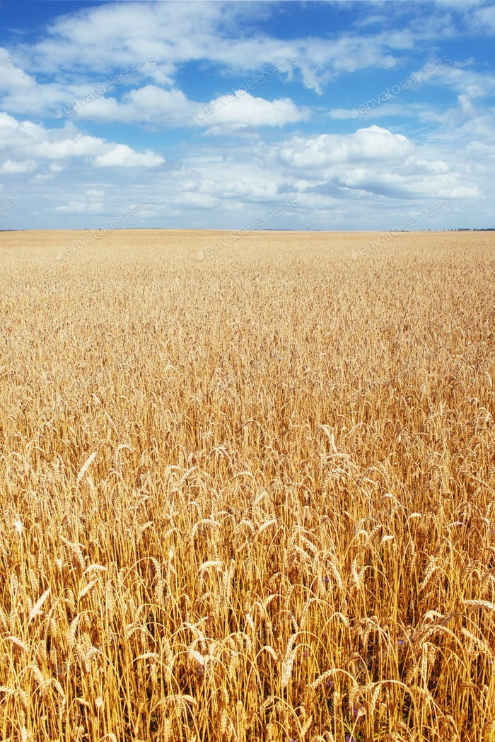Blue sky and golden field of wheat.