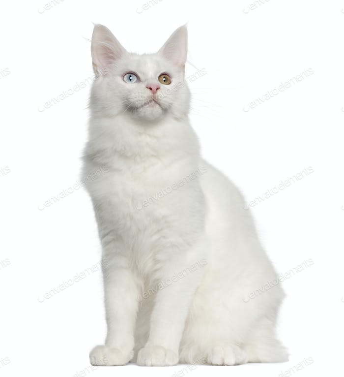 Maine Coon cat, 5 months old, sitting in front of white background