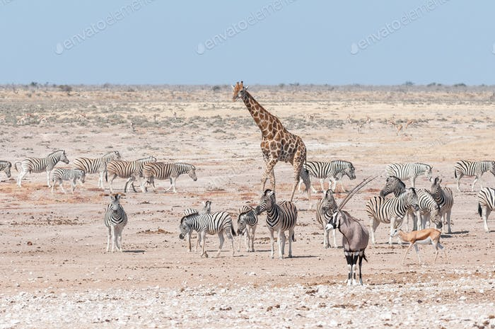 Giraffe, oryx, springbok and Burchells zebras in Northern Namibia