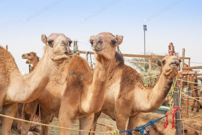 The Camel Market in Al Ain