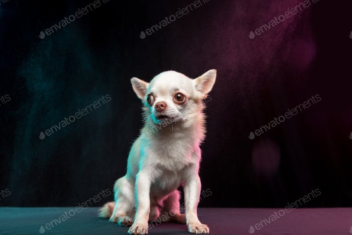 Portrait of Chihuahua companion dog isolated on neon colored studio background