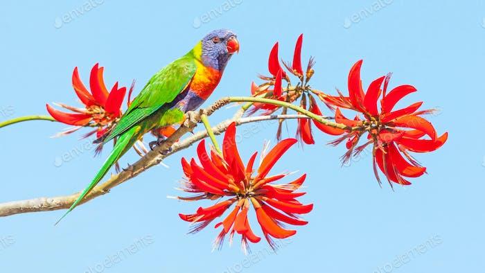 Rainbow Lorikeet en el árbol de coral