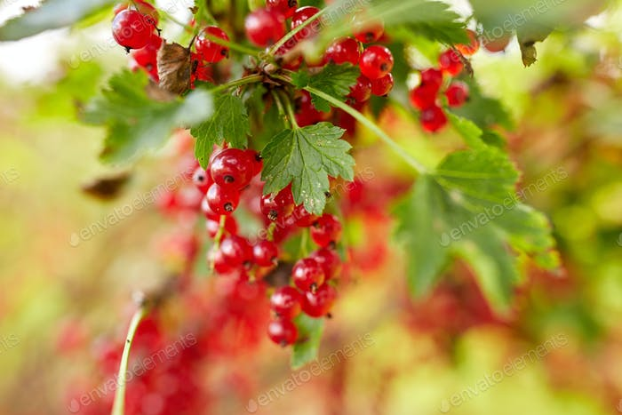 red currant berries at summer garden