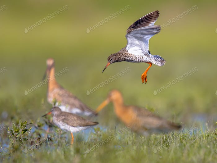 Flying Common redshank Eurasian wader preparing for landing at m