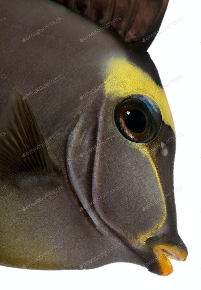 Close-up of Orangespine unicornfish, Naso lituratus, in front of white background
