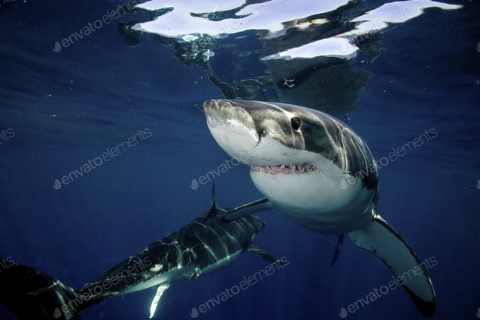 Great White Sharks, two large animals close up in dappled light under the water surface.