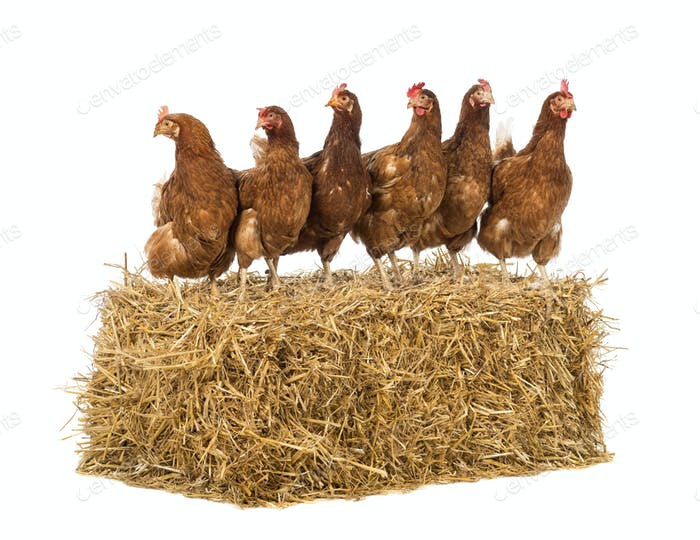 Reihe von Henne stehend auf einem Strohballen vor weißem Hintergrund