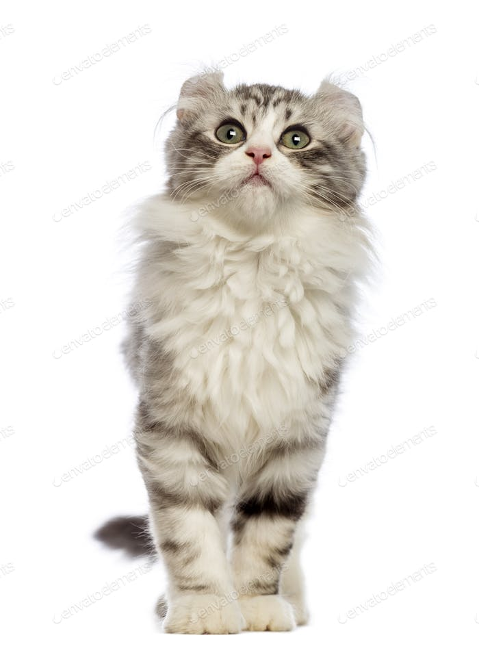 American Curl kitten, 3 months old, in front of white background