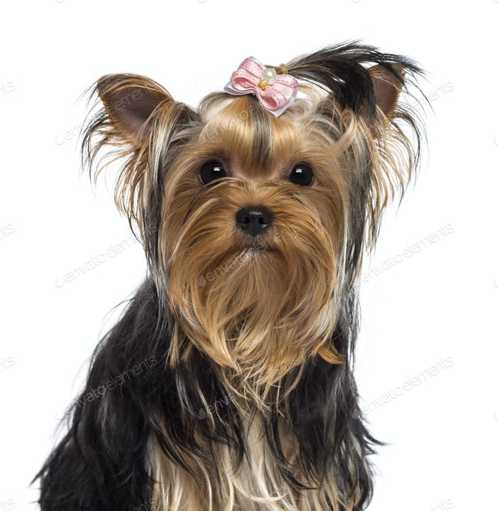 Yorkshire Terrier, 3 years old, looking at camera against white background