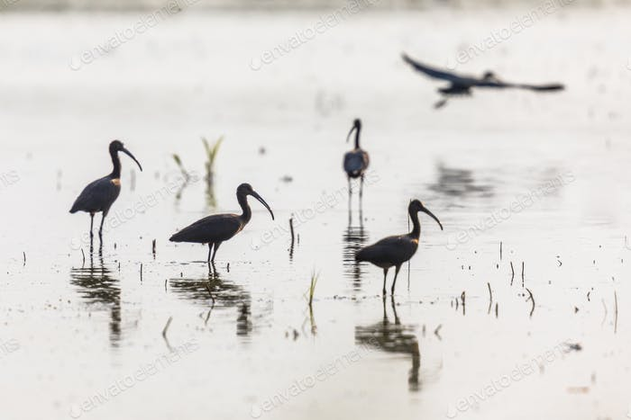 Glossy ibis group backlight