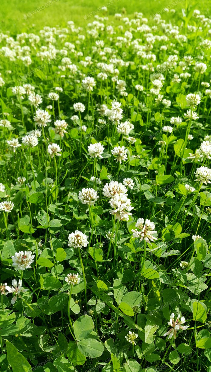 Clover on a summer meadow
